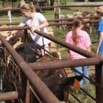 Calf Sorting